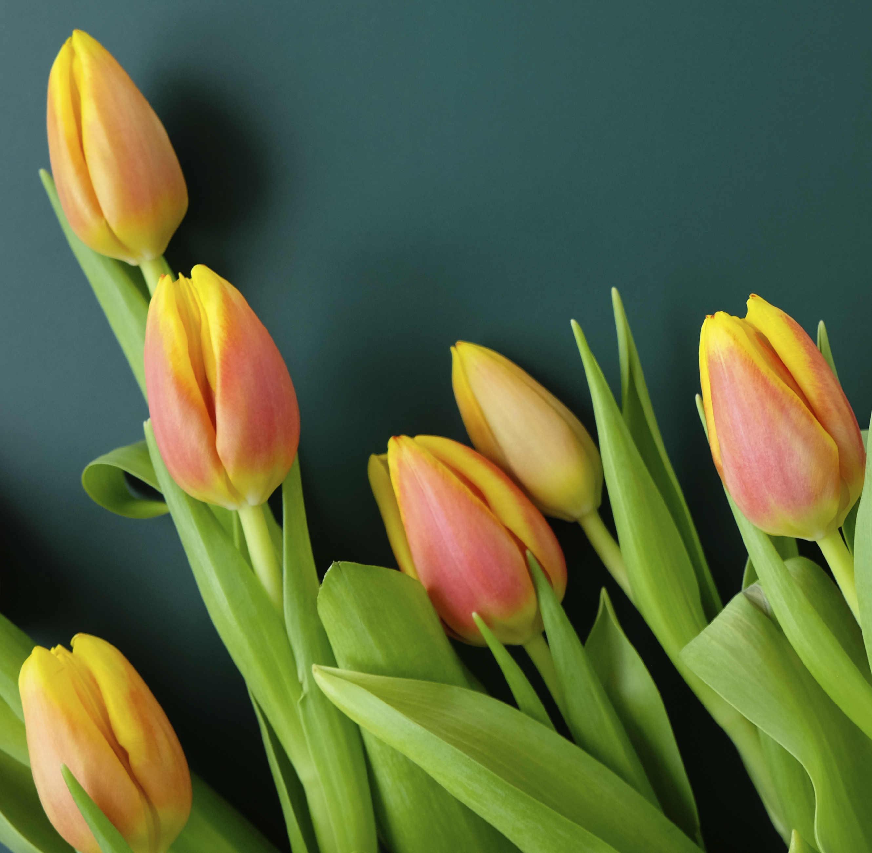 tulipani colorati di fiori a Roma